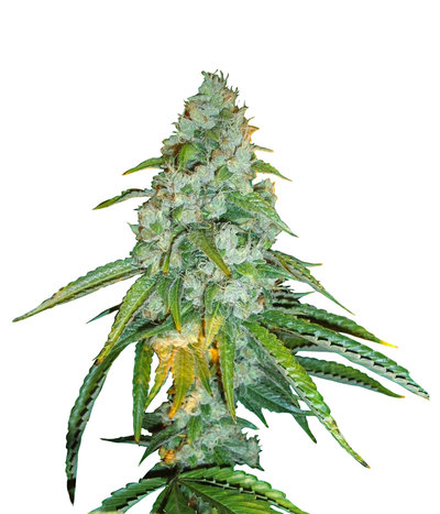 4010_sour-diesel-regular-seeds-piensenverde