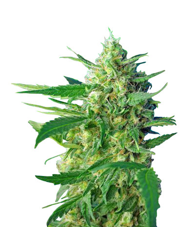 3699_ice-cool-auto-sweet-seeds-piensaenverde