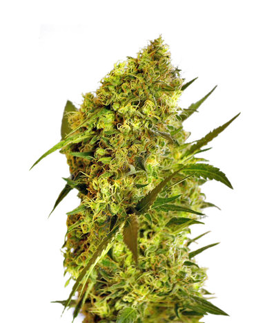 Big-devil-2-autoflowering
