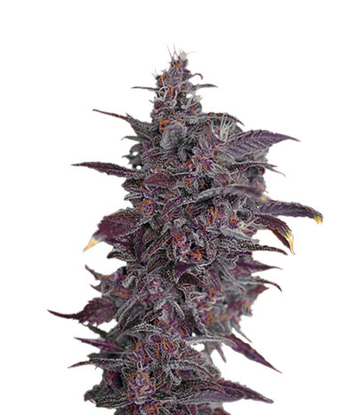 Sweet-seeds-black-cream-auto