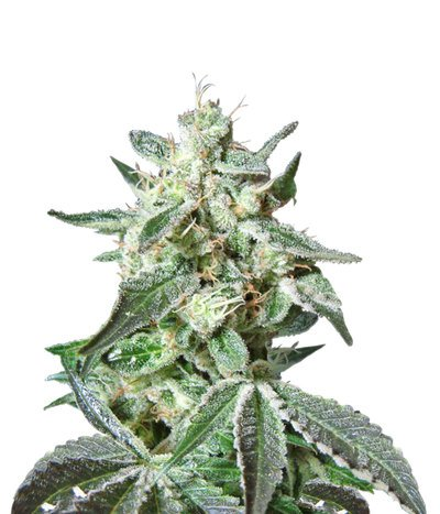 Sweet-seeds-black-jack