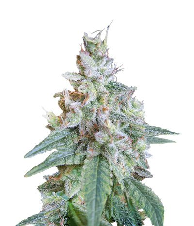 3009_cream-caramel-fast-version-sweet-seeds