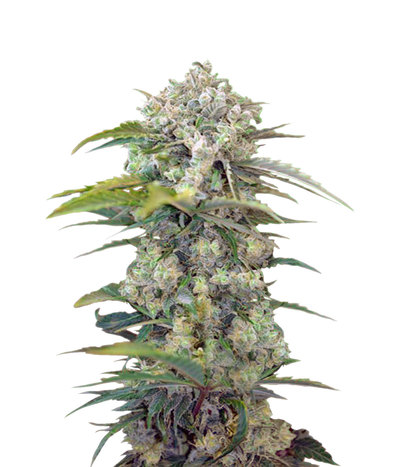 2683_cream-mandarine-sweet-seeds