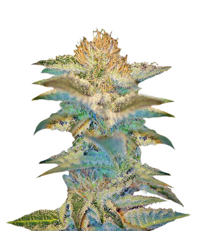 137_cannabisgreen-sweetseeds-mohamram