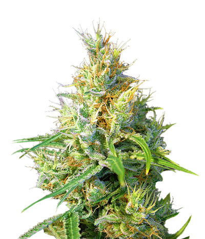 Sweet-seeds-psicodelicia