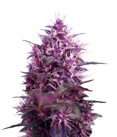 Red-poison-feminized