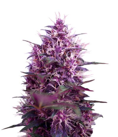 Sweet-seeds-red-poison-auto