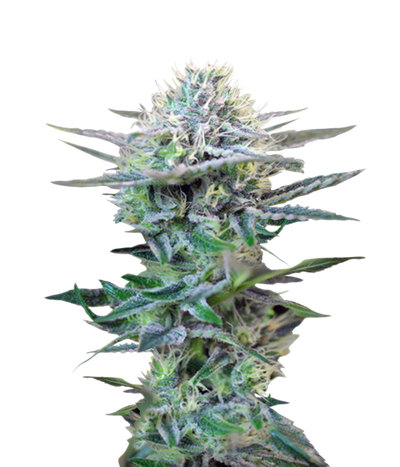 Sweet-seeds-speed-auto