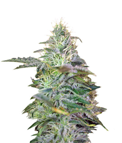 Sweet-cheese-auto-sweet-seeds