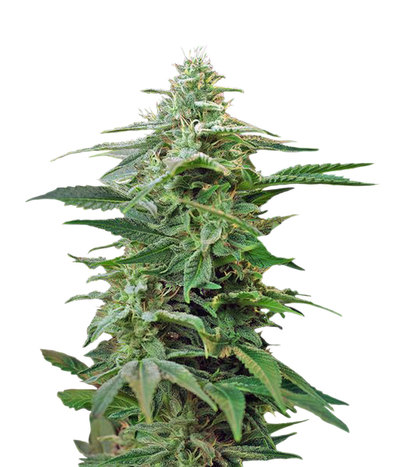 Sweet-special-auto-sweet-seeds