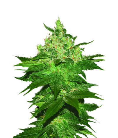 World-of-seeds-afghan-kush