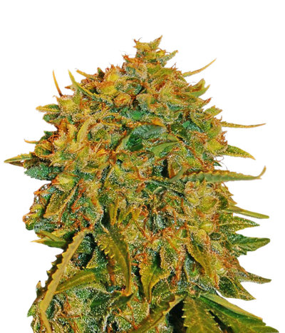 World-of-seeds-northern-lights-x-big-bud-auto