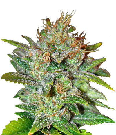 World-of-seeds-skunk-47