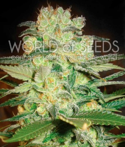 World-of-seeds-afghan-kush-x-white-widow