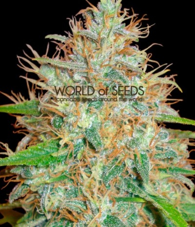 World-of-seeds-afghan-kush-x-skunk
