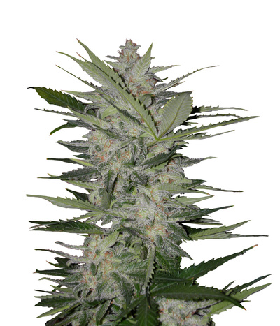 Blk-seeds-auto-devil