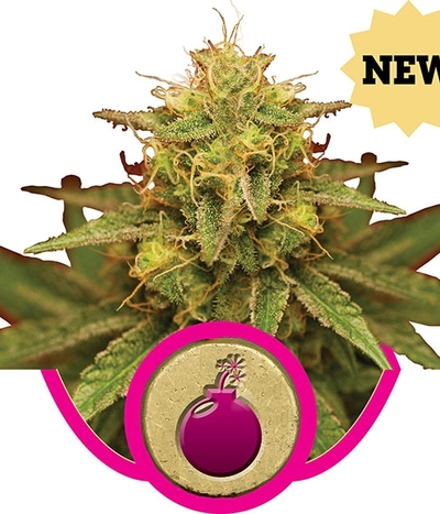 Royal-queen-seeds-royal-domina