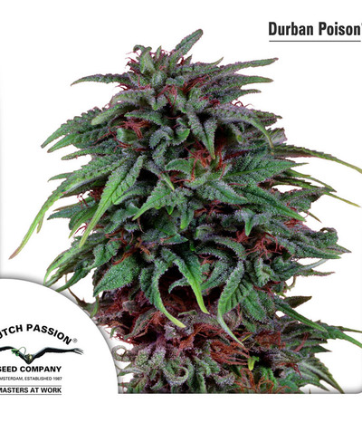 Durban-poison-dutch-passion