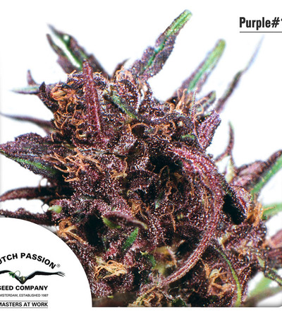 Dutch-passion-purple-1