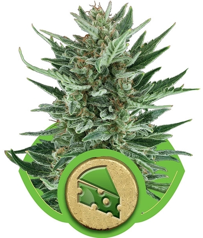 Royal-queen-seeds-royal-cheese-automatic