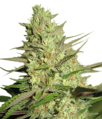Royal-queen-seeds-special-queen-1
