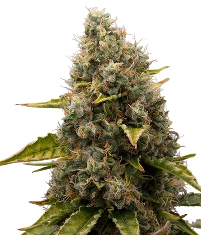 White-widow_%281%29