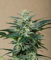 Roadrunner_autoflowering-03-0624_product_gallery