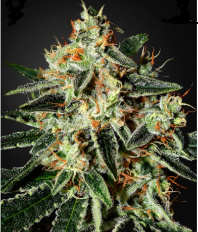 Green-house-seeds-cheese