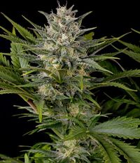 Pineapple_skunk
