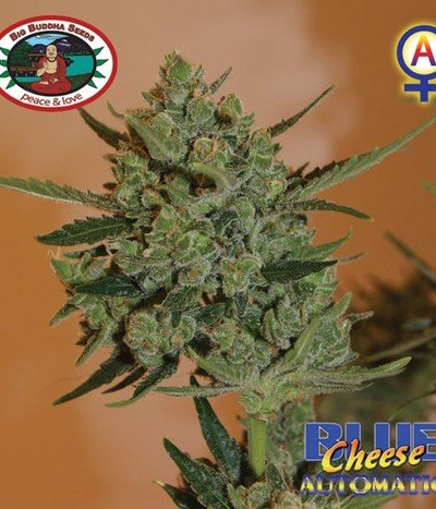 Big-buddha-seeds-blue-cheese-automatic
