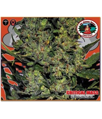 Big-buddha-seeds-critical-mass-automatic