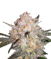 Sour_crack_white