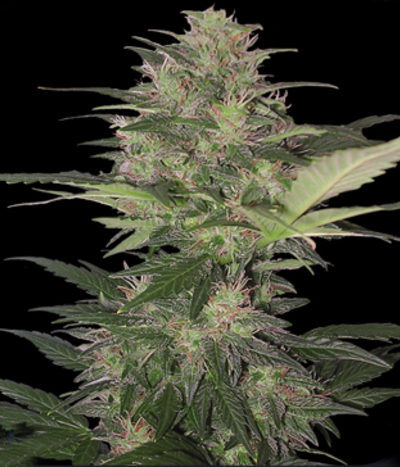 Buddha-seeds-red-dwarf