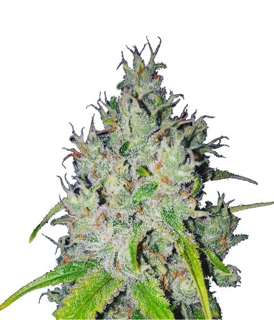 Green-house-seeds-super-lemon-haze-cbd
