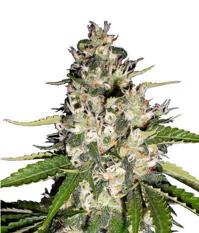 Sweet-seeds-auto-black-jack