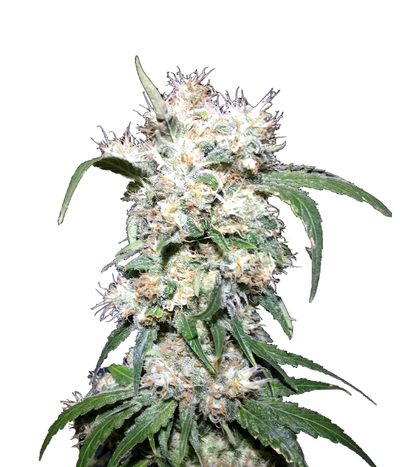 Humboldt-seeds-organization-707-headband