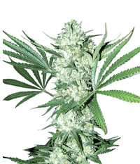 Auto_white_widow
