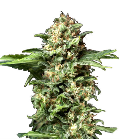 Pyramid-seeds-auto-new-york-city