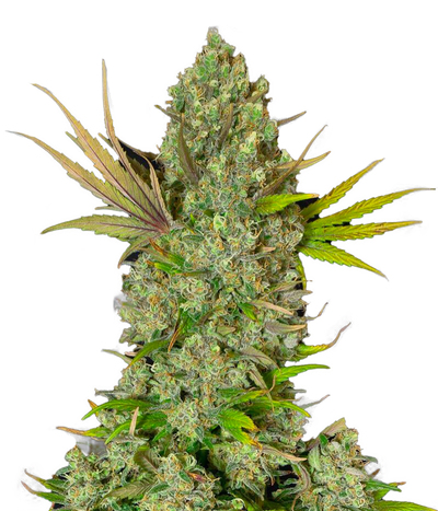 Sweetseeds-cream47-2