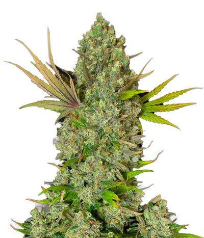 Sweet-seeds-cream-47