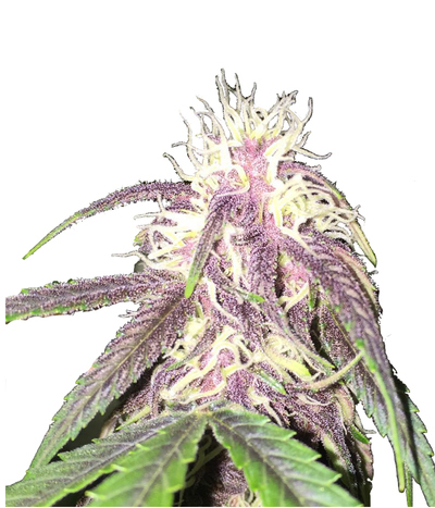 Bc-bud-depot-the-purps