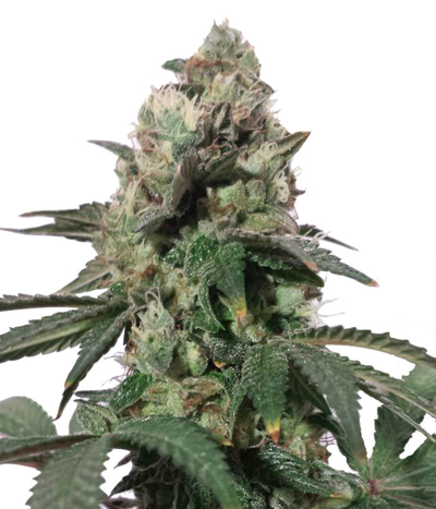 Connoisseur-genetics-north-london-church-cookies
