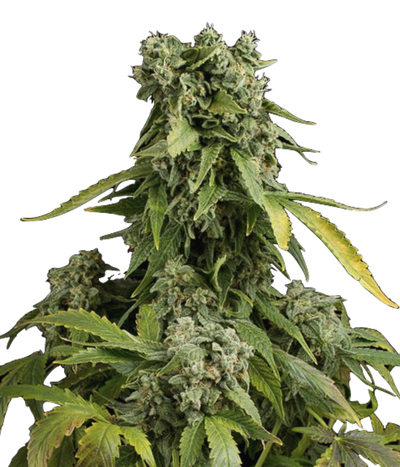 Dinafem-blue-cheese-autoflowering