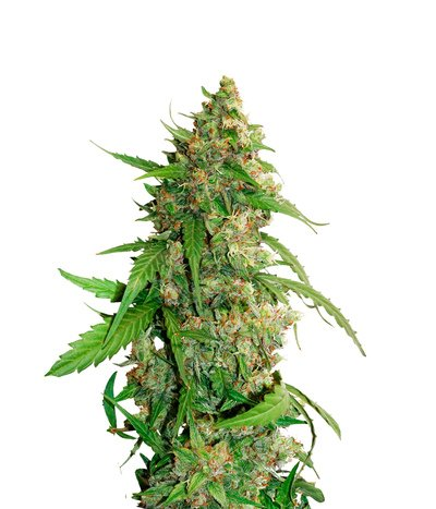 Dutch-passion-cbd-auto-compassion-lime