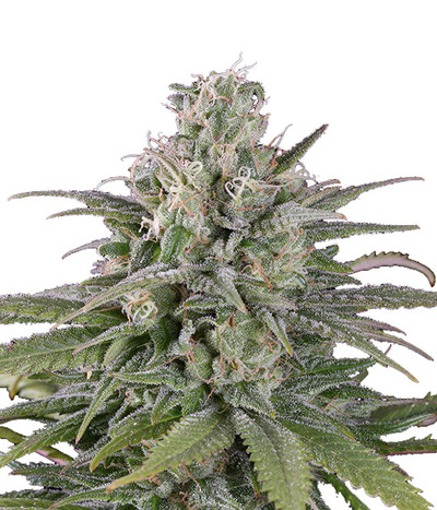 Humboldt-seeds-organization-uk-cheese-auto