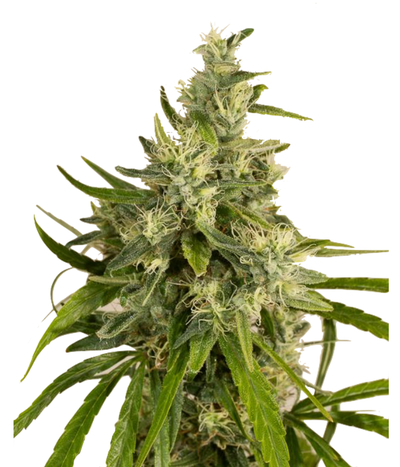 Humboldt-seeds-organization-trainwreck-reg