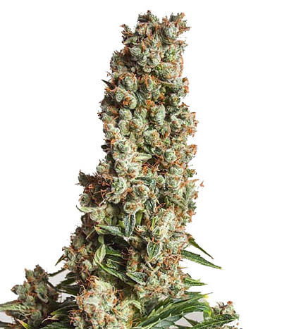 Dutch-passion-orange-bud-auto