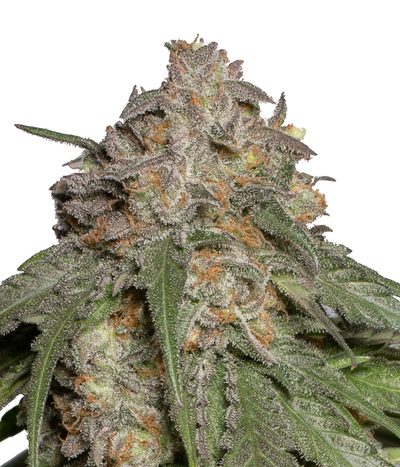 Humboldt-seeds-organization-blueberry-headband