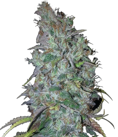 Humboldt-seeds-organization-blue-dream-auto