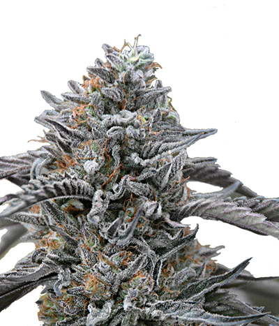 Humboldt-seeds-organization-black-d-o-g